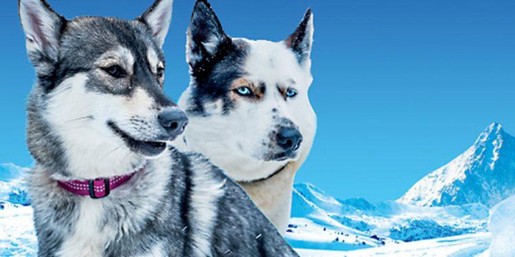Snežné psy v Tatranskej Lomnici