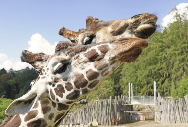 Zoo Jihlava, Žirafy