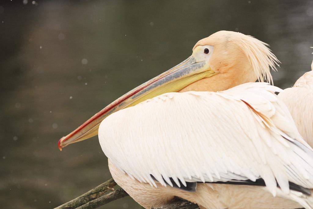 Zoo Jihlava, Pelikán Bílý