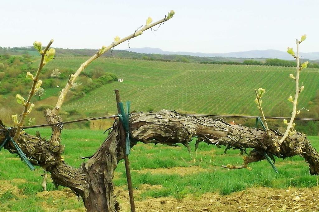 Vinohradnícka krajina pod Vulkánom Sitno