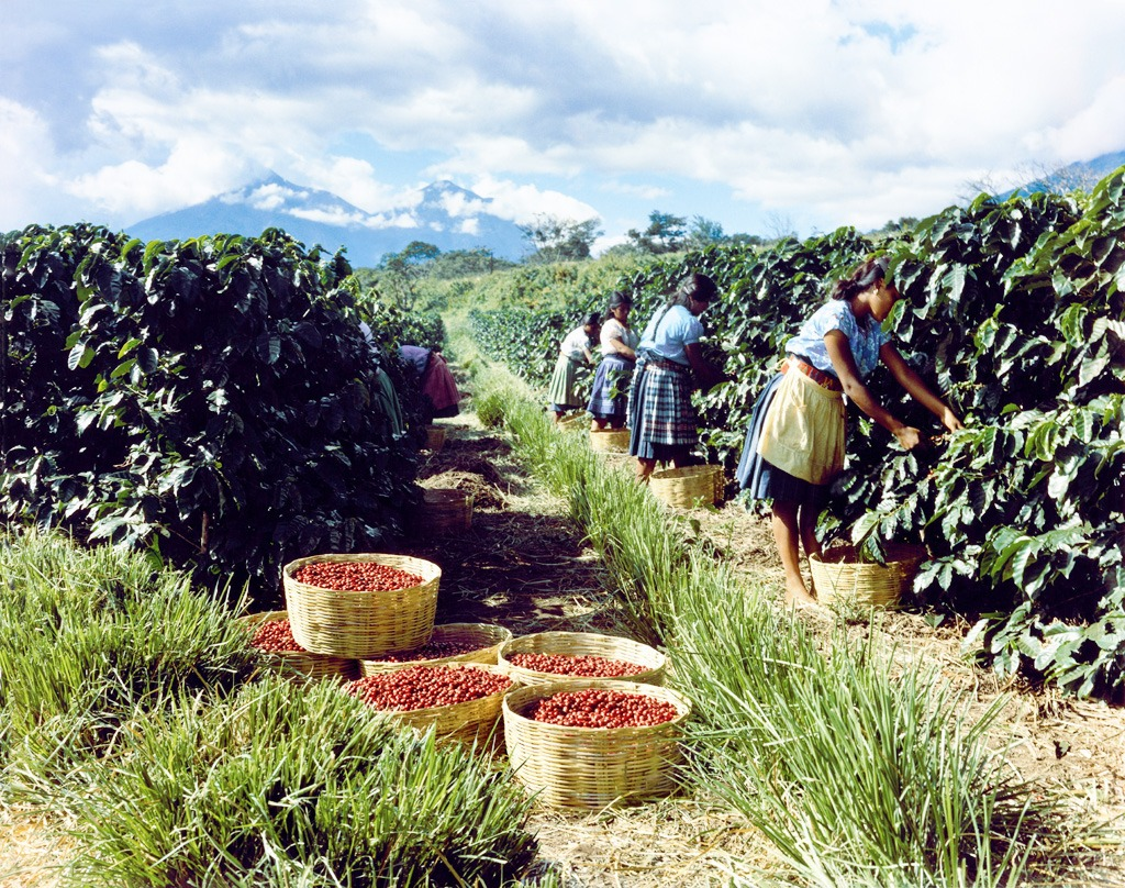 Tchibo_kavova plantaz