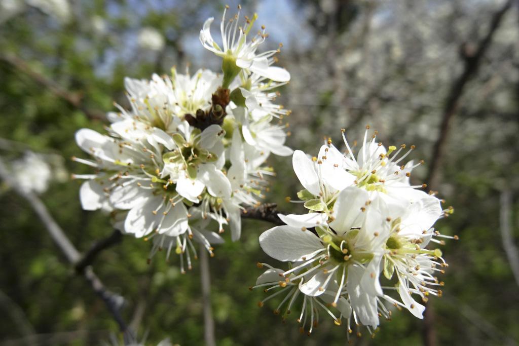 Kvet trnky
