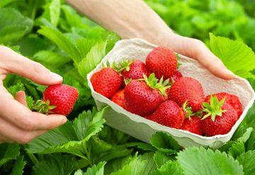 Poďme spolu na samozber... jahody sú sladké, voňavé a najmä veľmi zdravé