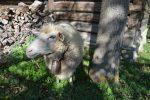 Otvorenie Pastierskej Sezóny, V dolinách túlia sa ovčie stáda... Otvorenie pastierskej sezóny v Múzeu kysuckej dediny